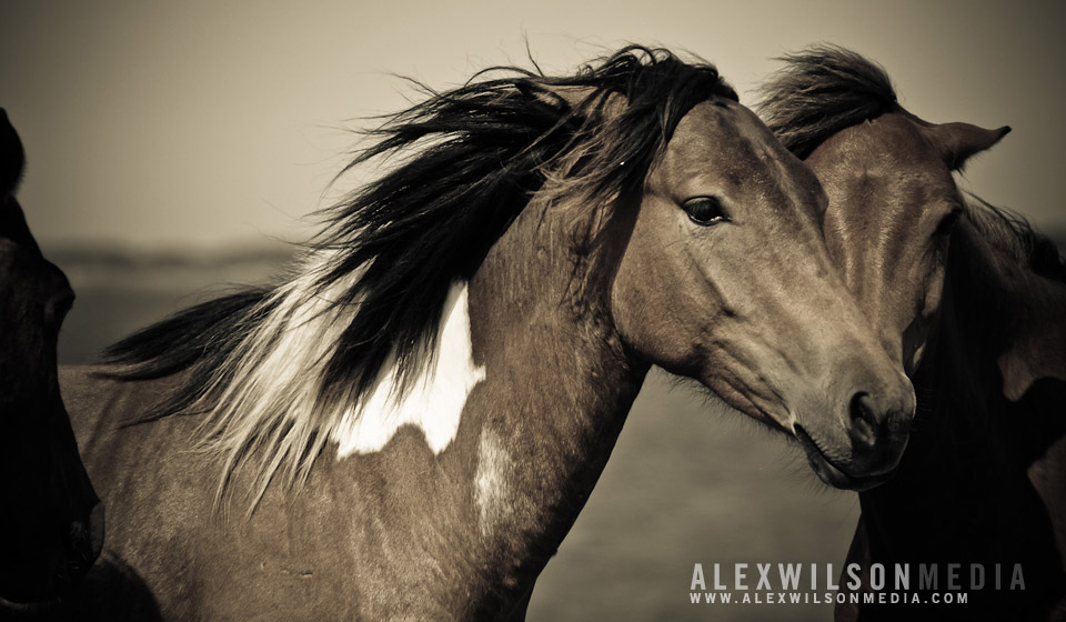 Assateague Island wild ponies, Maryland